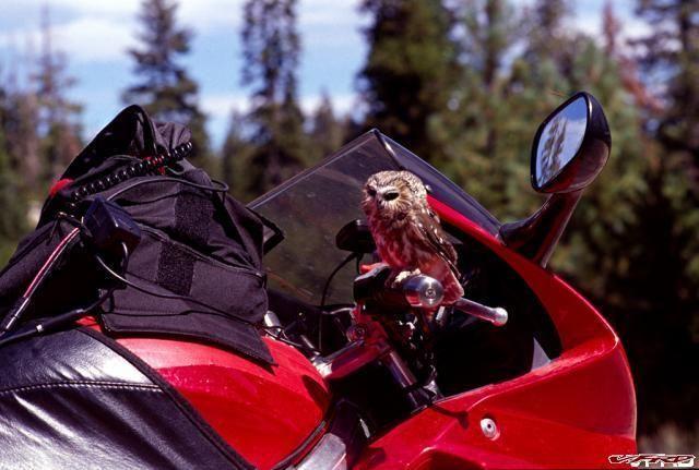 Biker Owl 1