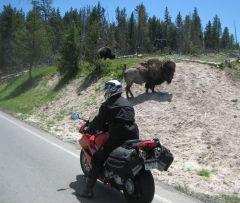 Bison Encounter