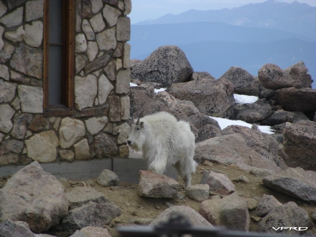 A very tame and freindly Mountain Goat