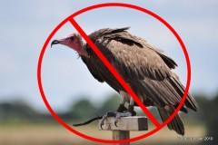 VFR-1 Turkey Vulture-0