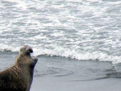 Roaring seal
