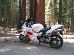 Giant Sequoias near Yosemeti