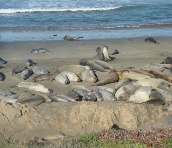 61 - Elephant seals near Piedras Blancas, Cal